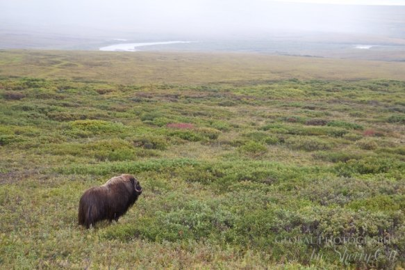 Nome Alaska Wildlife