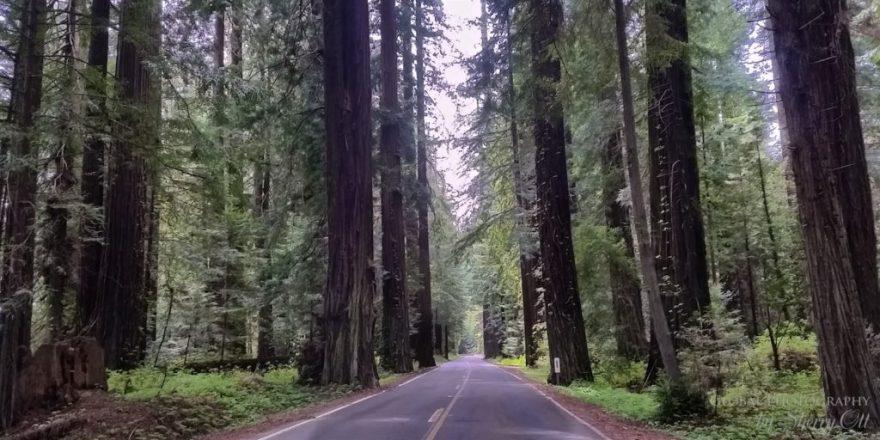 Avenue of the Giants Redwoods