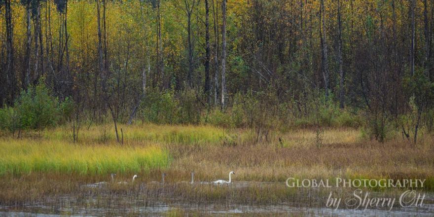 Fall Swans Alaska
