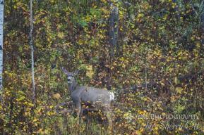 cariboo wildlife