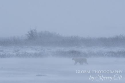 polar bear in a winter storm