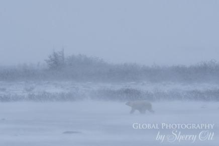 polar bear in a winter storm