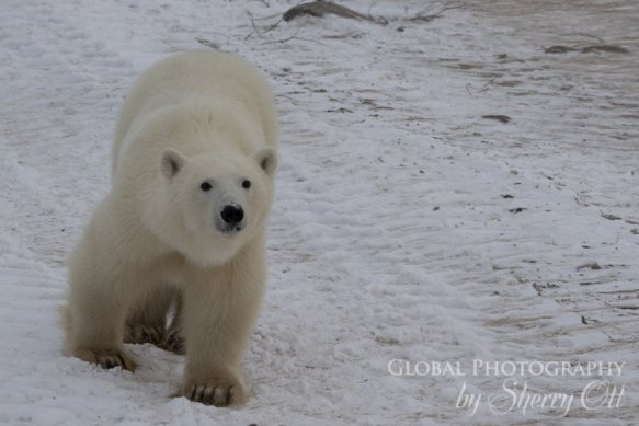 polar bears tundra buggy