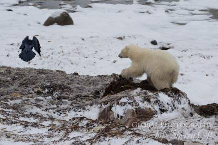 polar bear behavior churchill