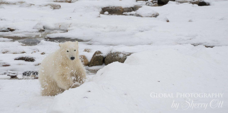 polar bear behaviors