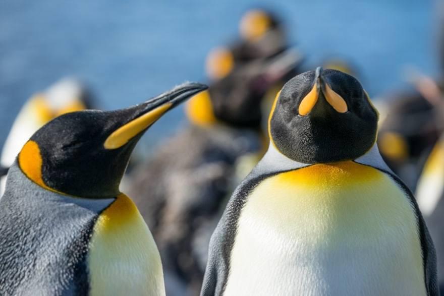 Macquarie Island king penguins-02981