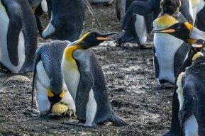 king penguin egg
