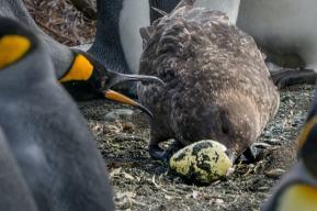 Skua steals king penguin egg