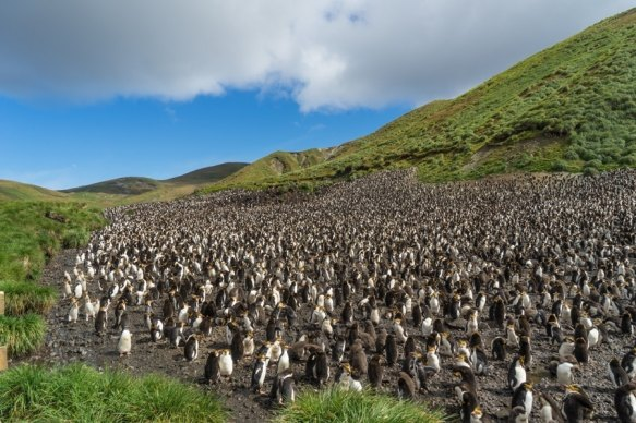 macquarie island royal penguins