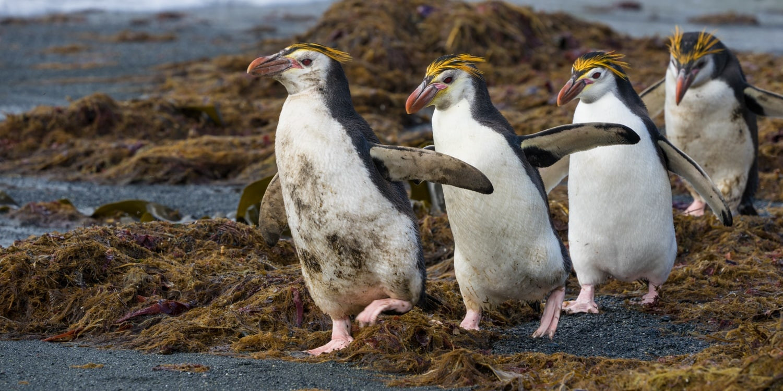 Macquarie Island Royal Penguins