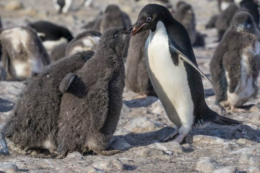 Baby penguins on Franklin Island Ross Sea