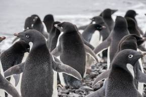 Franklin Island Adelie penguins