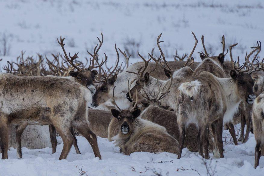 reindeer crossing ice road inuvik