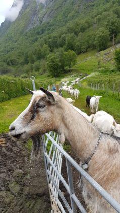 norway itinerary goat safari