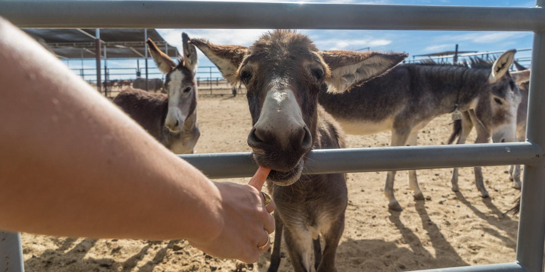 burros and wild horses ridgecrest