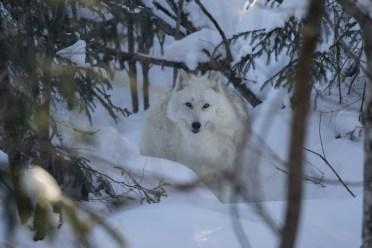 Quebec winter activities wolf packs