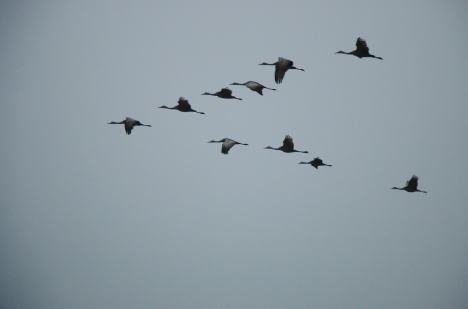 crane migration nebraska