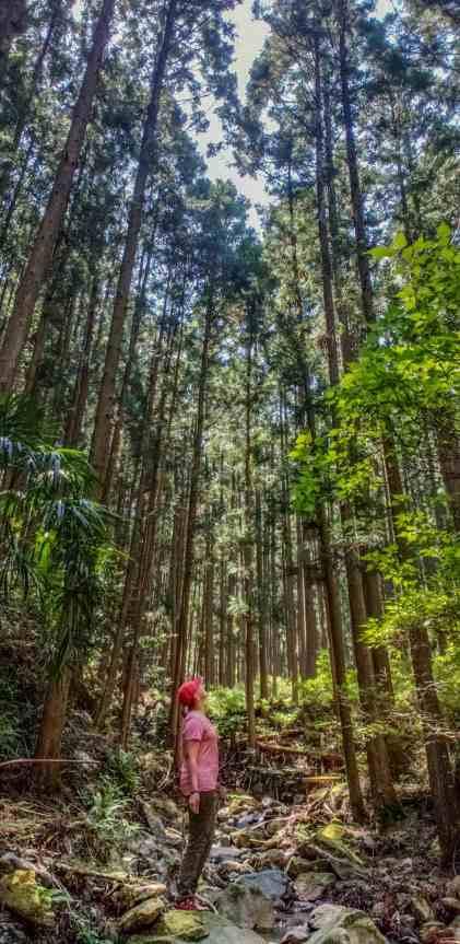 trees of kumano kodo thru hike
