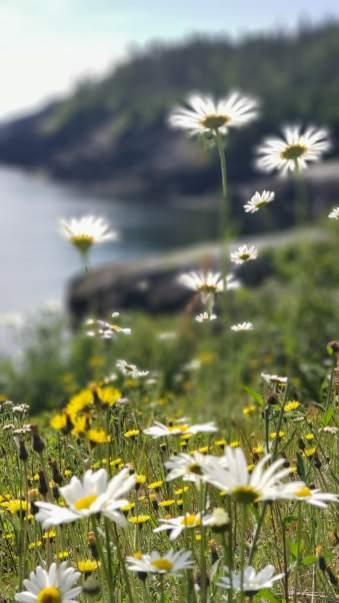 wildflowers Newfoundland
