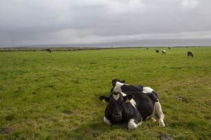 cows cliffs of moher