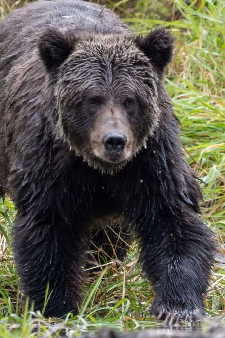 grizzly bear bella coola
