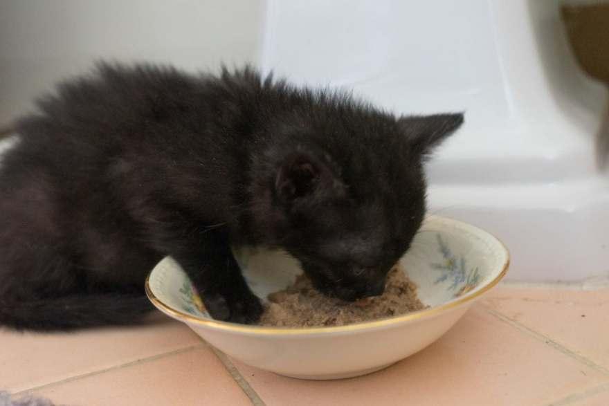 eating kitten