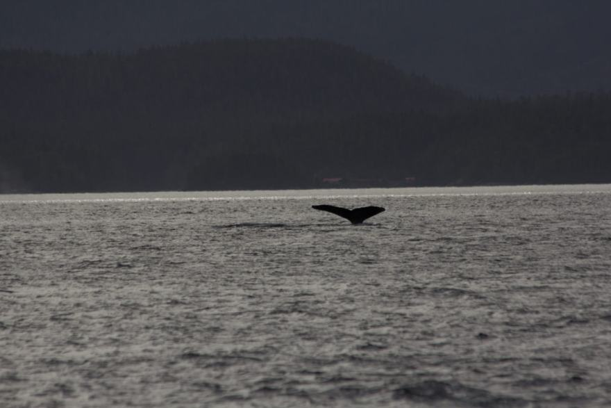 whale watching great bear rainforest
