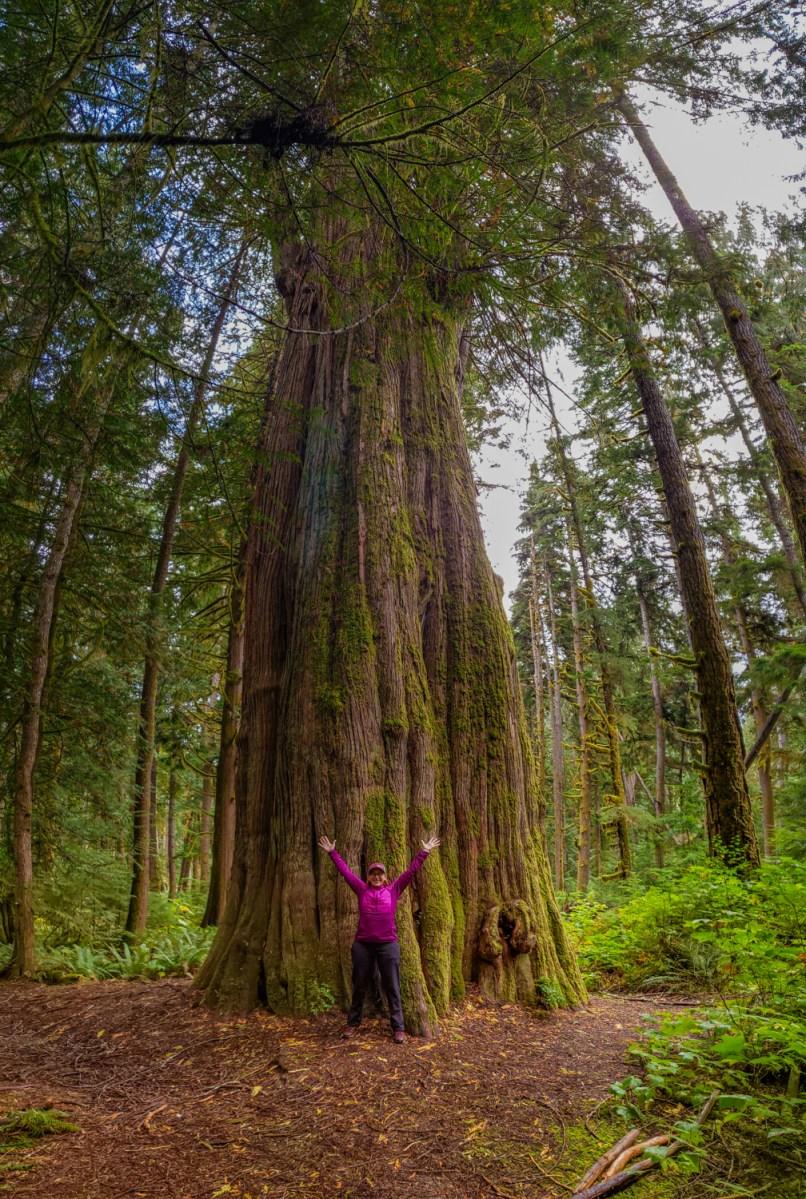 le grand arbre mère de cèdre