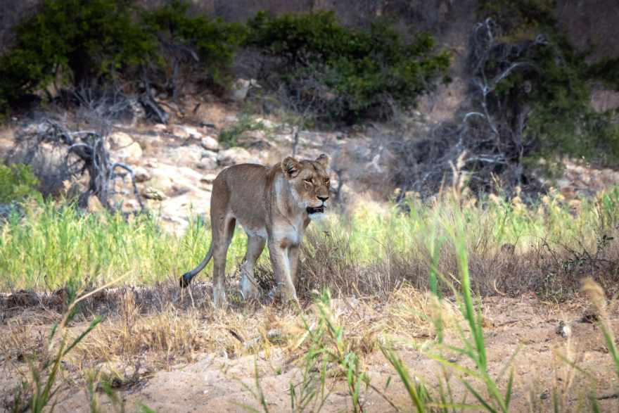 lioness at klaserie bush camp