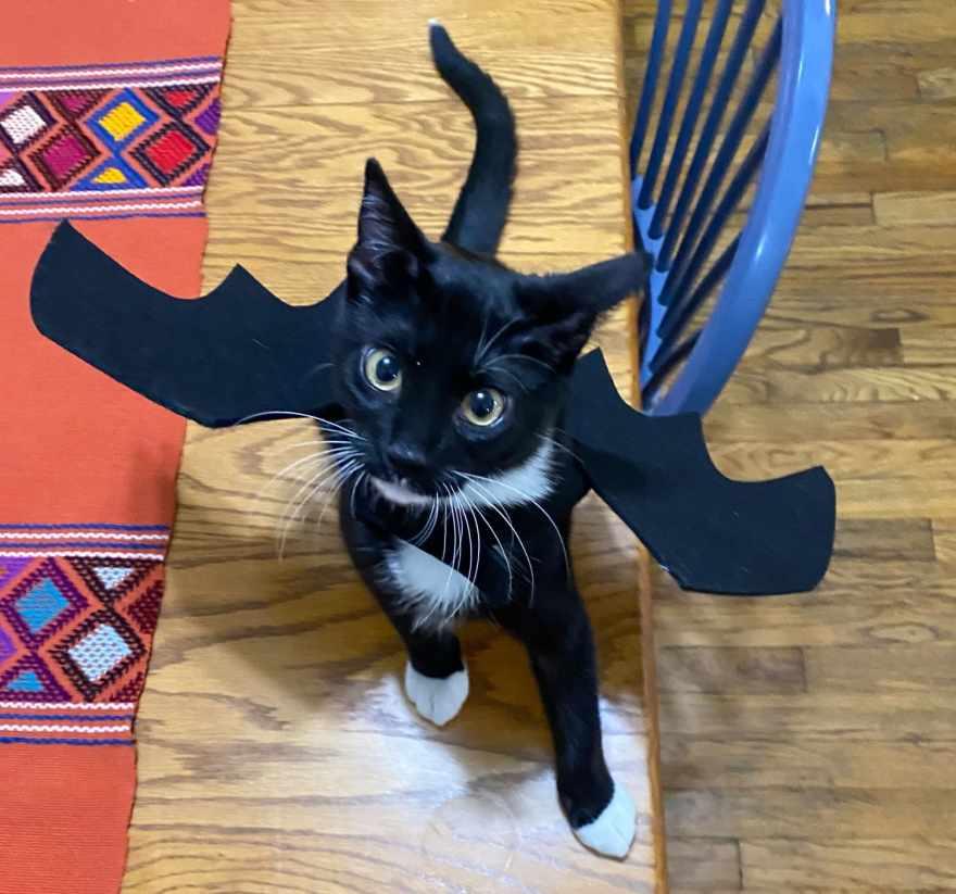 kitten bat
