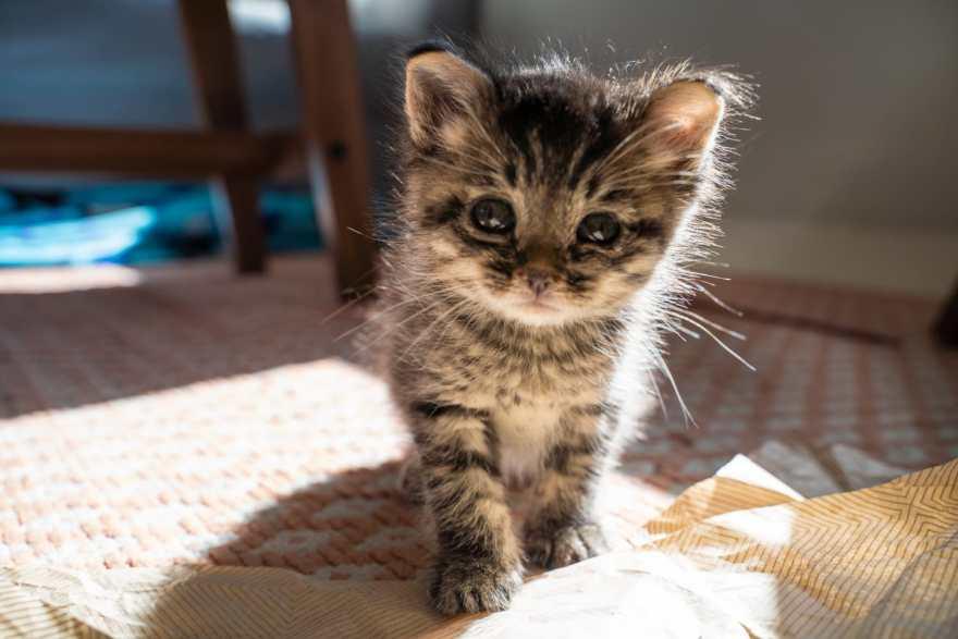 Kitten 4 weeks old