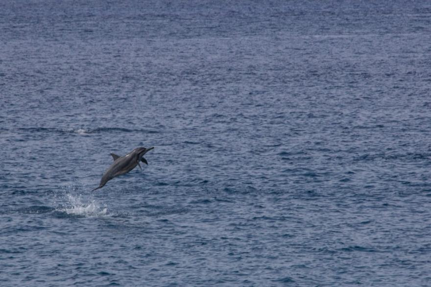 Spinner Dolphins play in the bay lanai