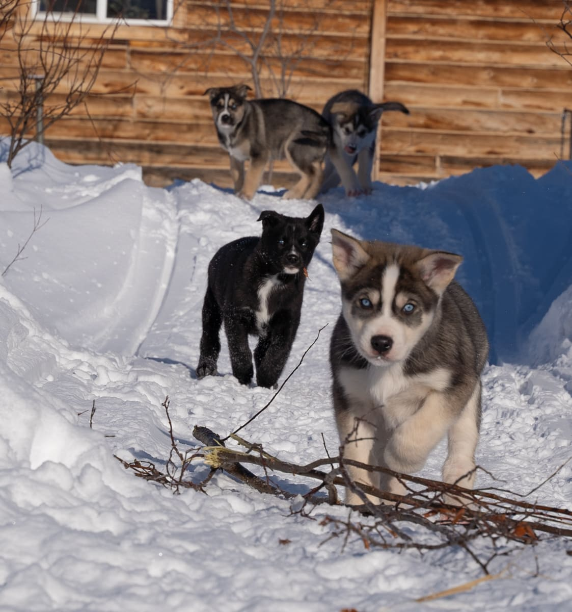 alaska sled dog puppies