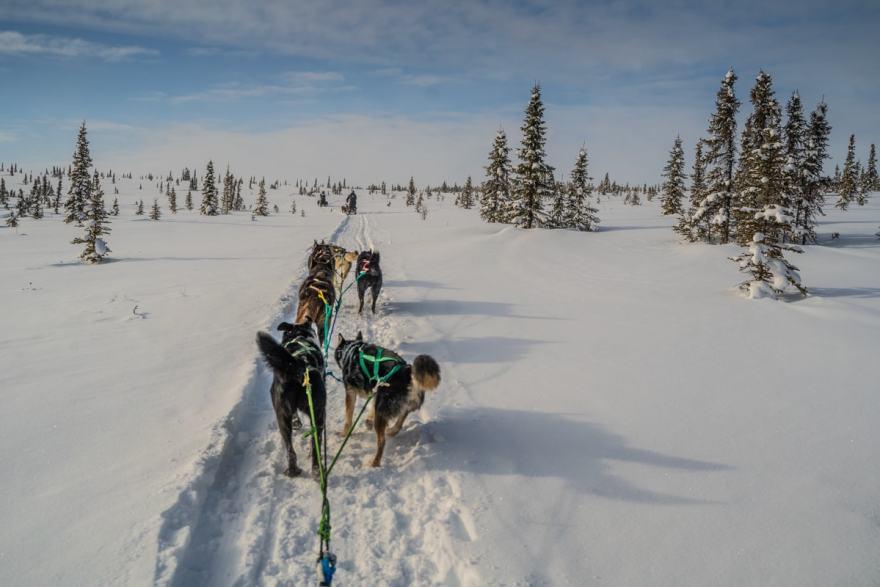 alaska sled dogs