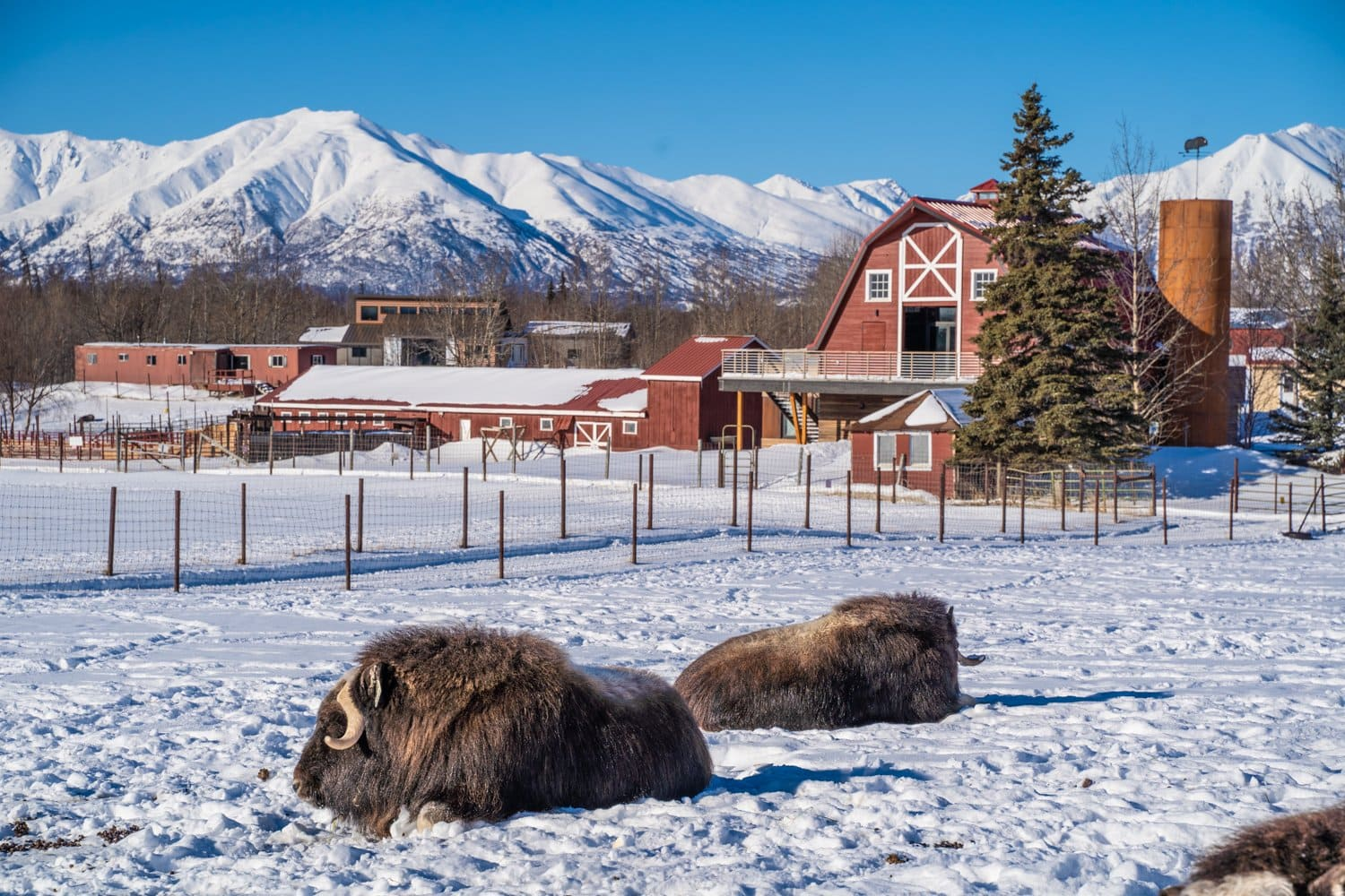 things to do in anchorage muskox farm