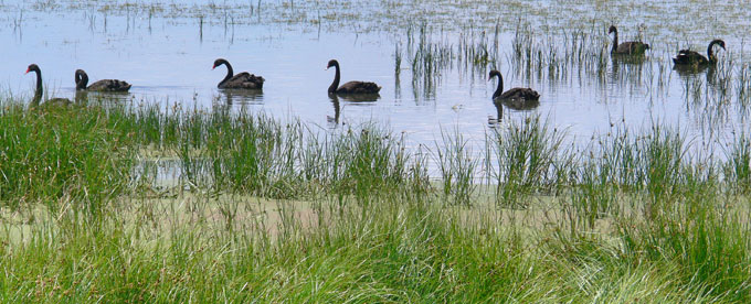 Swans on Lake Colac