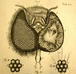 detailed drawing of the eye of a housefly, from the University of Oklahoma History of Science collection