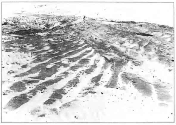 Bloot gestoven geploegd middeleeuws akkerland in de duinen bij Castricum (foto A.Schermer).