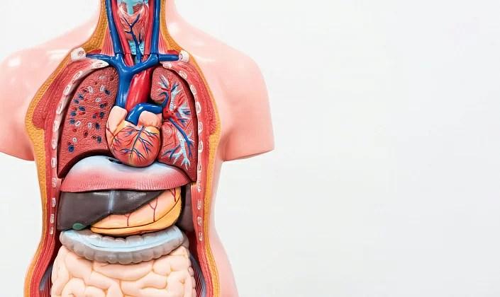 anatomy, liver