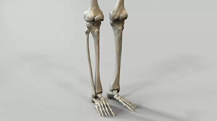 lower limb structure