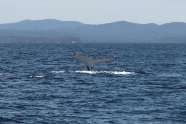 A Humpback Tail