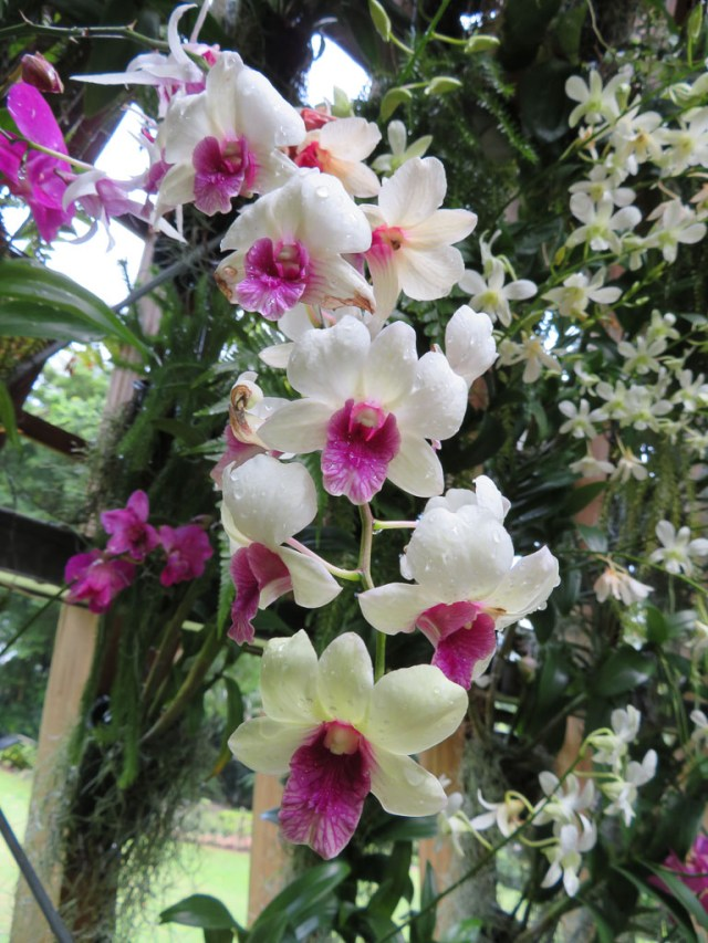 Beautiful orchids, so many different types and Shangri-La have their very own flower.