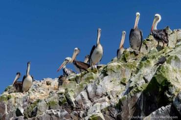 Ballestas Islands - Pelicans
