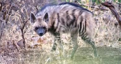 Hyena wolf hybrid