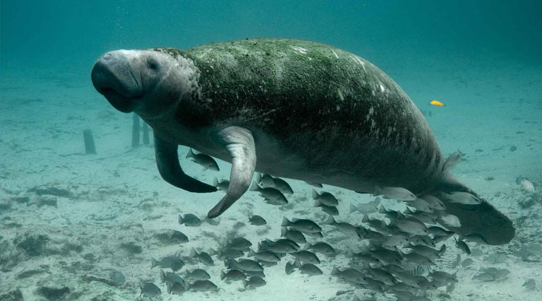 Manatees chances are improving!