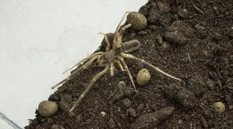 Camel Spiders: DEBUNKE...