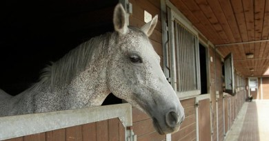 Domestic Horse in Barn