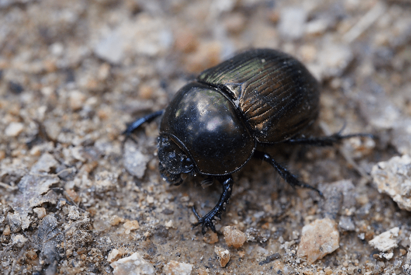 Scarab Beetle L Fascinating History Our Breathing Planet