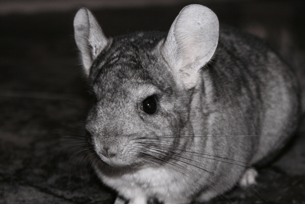 Chinchilla l Sadly Endangered Rodent Our Breathing Planet