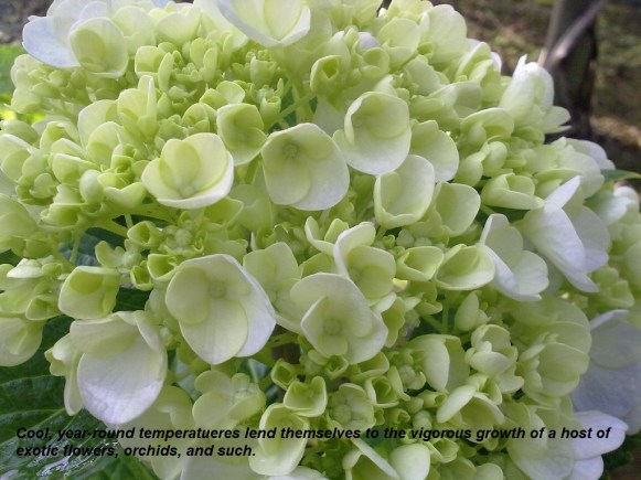Hydrangea - Nursery (2011-08-28) 01